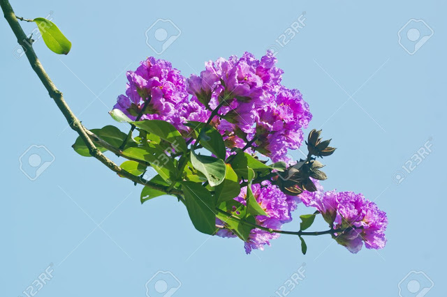 19912581-Crape-myrtle-flowers-Its-scientific-name-is-Lagerstroemia-indica-flowers--Stock-Photo71